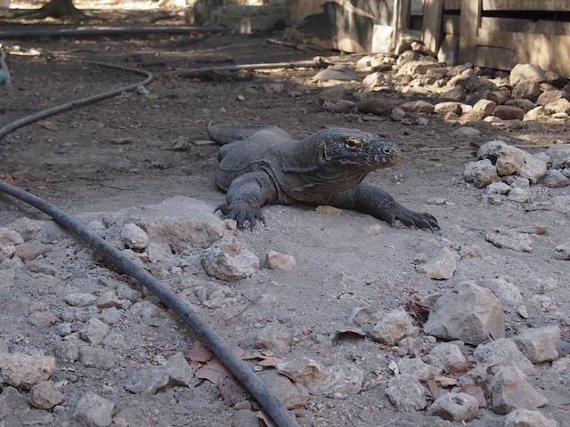 コモド諸島フローレス島 コモドドラゴン
