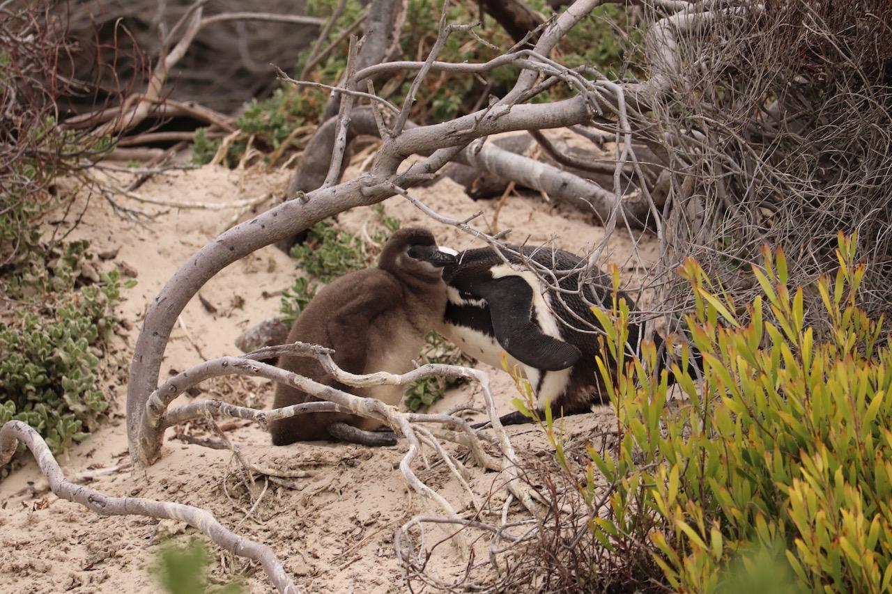 赤ちゃんの世話をするペンギン