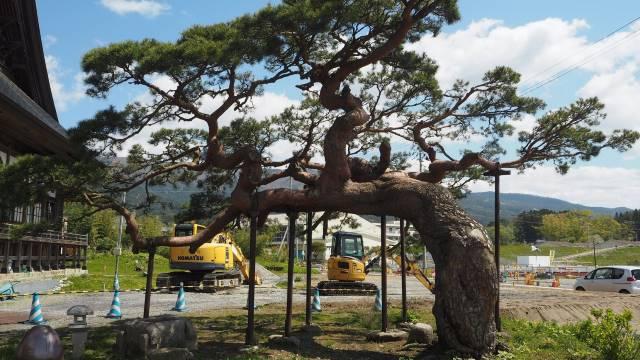 浄土寺の松