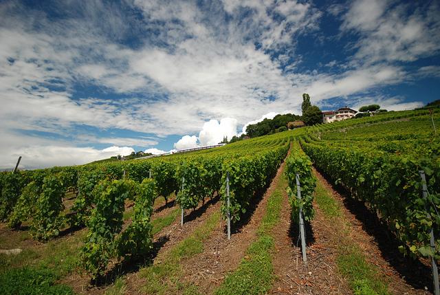 ラヴォー地区の葡萄畑