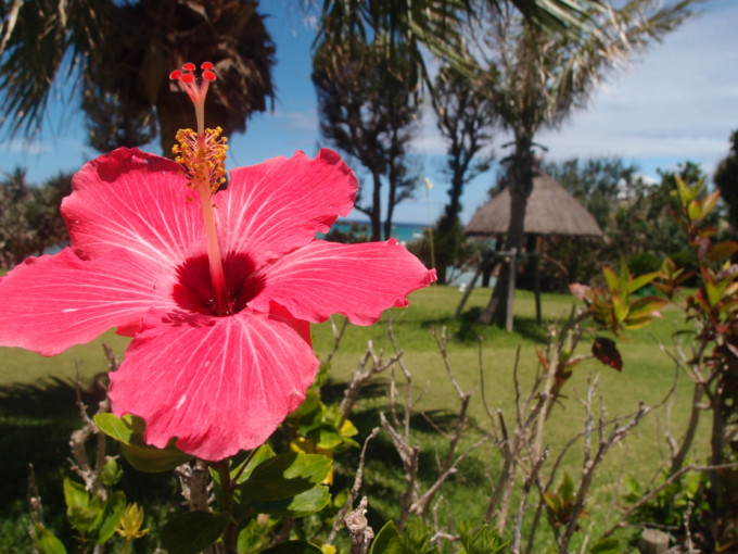沖縄に住むハイビスカス
