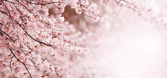 第一回桜開花予想